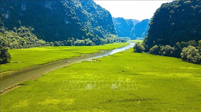 Captivating golden ripe rice fields in Ninh Binh hinh anh 3