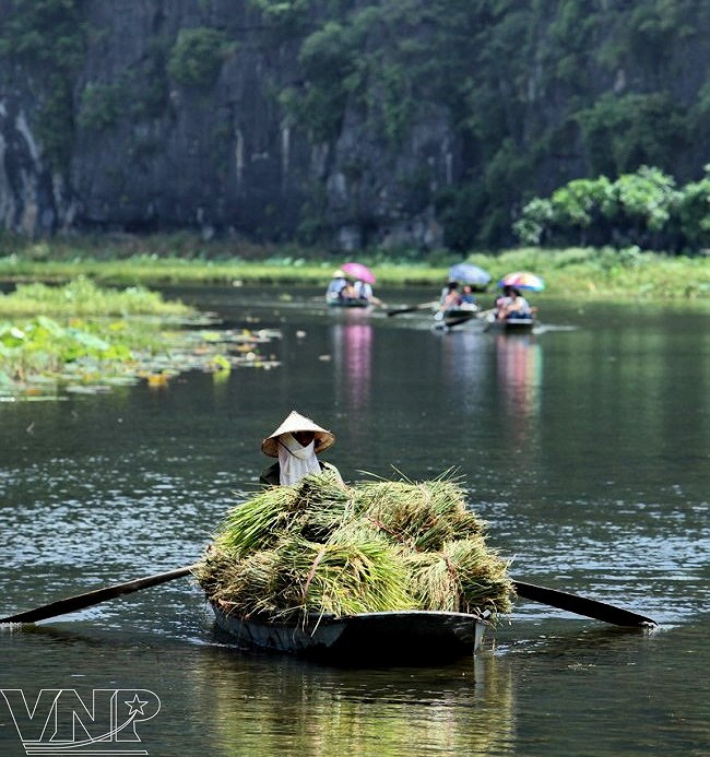 Captivating golden ripe rice fields in Ninh Binh hinh anh 5