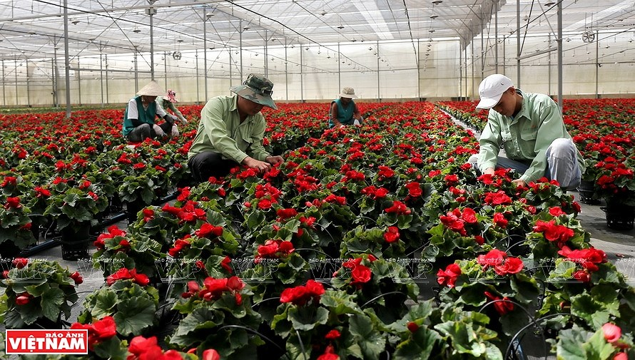 Da Lat, the capital of flower export hinh anh 7