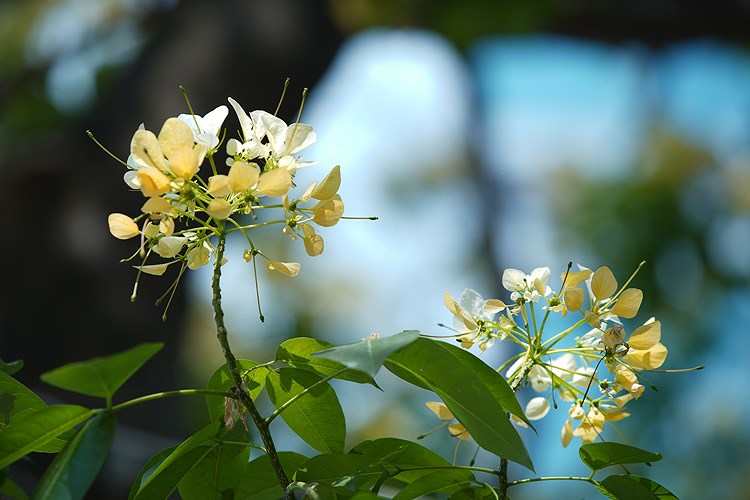 'Treasure' tree of Dinh Thon village in full bloom hinh anh 2