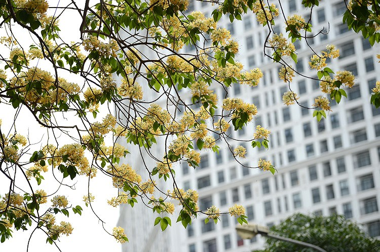 'Treasure' tree of Dinh Thon village in full bloom hinh anh 3