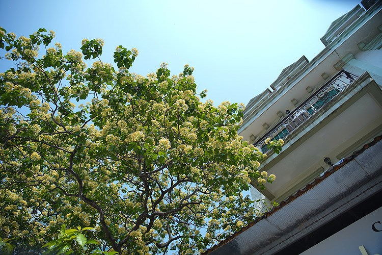 'Treasure' tree of Dinh Thon village in full bloom hinh anh 4