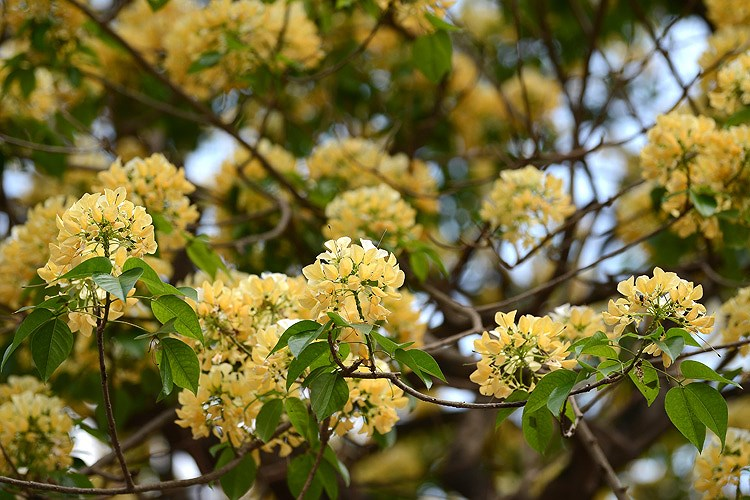 'Treasure' tree of Dinh Thon village in full bloom hinh anh 5