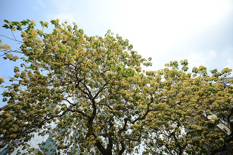 'Treasure' tree of Dinh Thon village in full bloom hinh anh 6