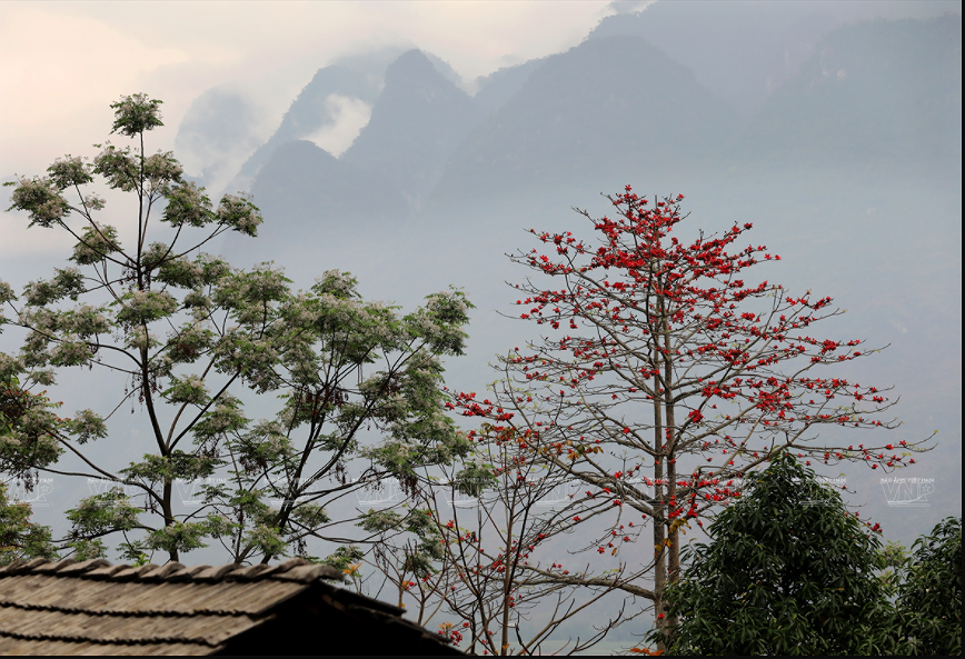 Red silk-cotton flower heats up Ha Giang rocky plateau hinh anh 5