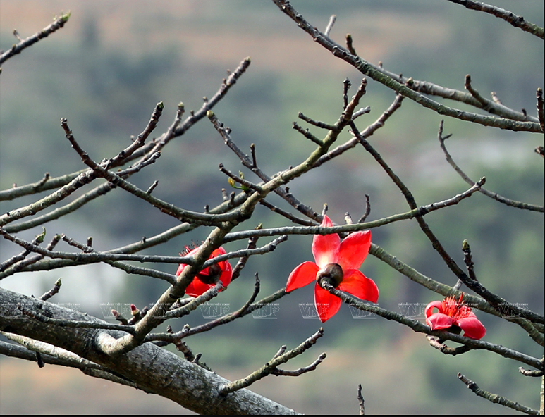 Red silk-cotton flower heats up Ha Giang rocky plateau hinh anh 6