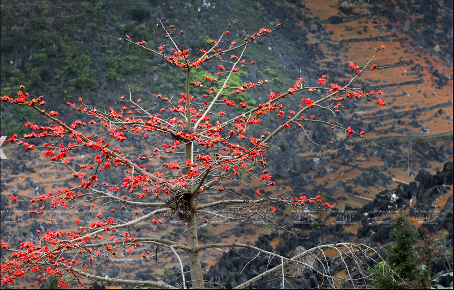 Red silk-cotton flower heats up Ha Giang rocky plateau hinh anh 7