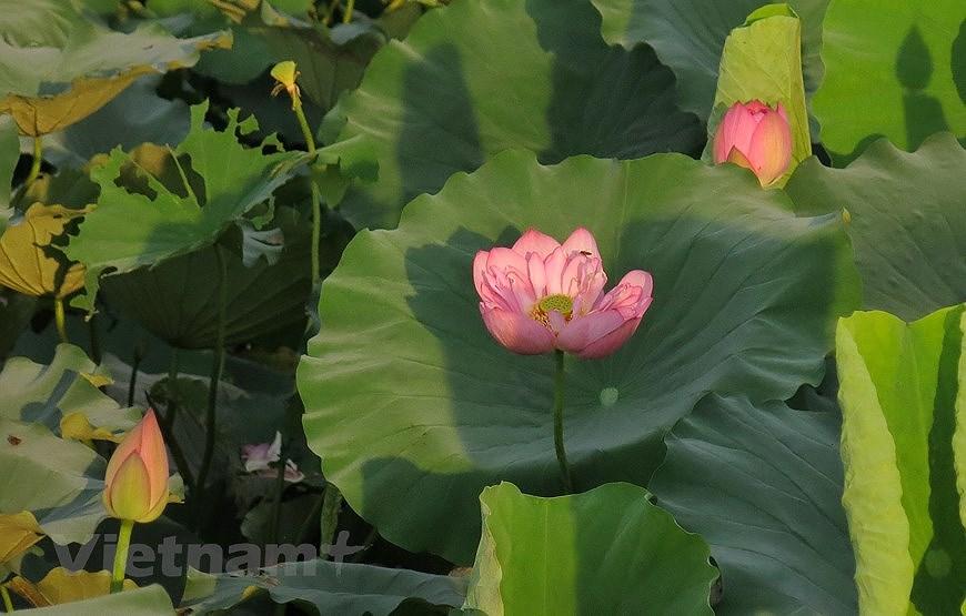 Enjoying lotus scented tea on summer days hinh anh 10