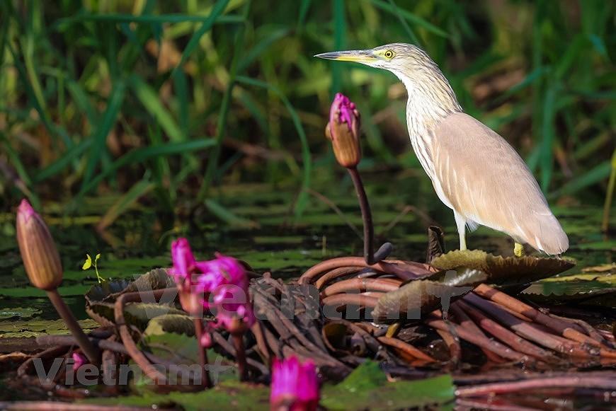 Beaute des oiseaux au parc national de Tram Chim hinh anh 4
