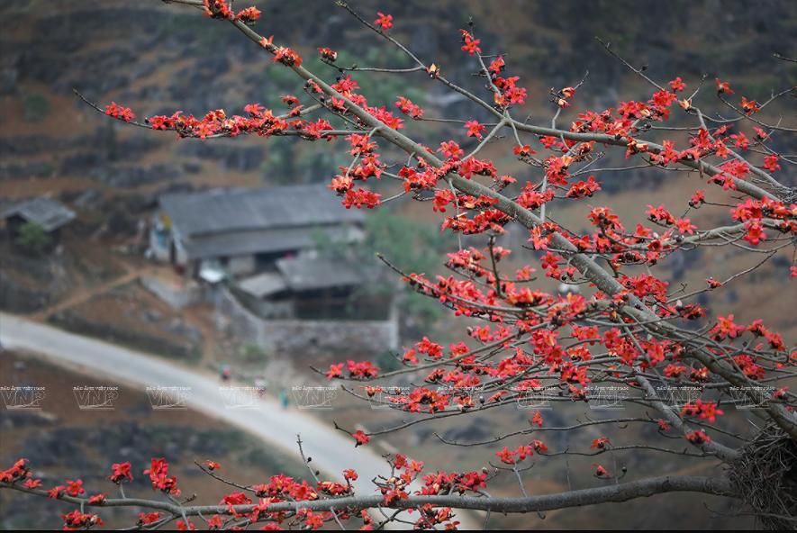 组图:鲜红的木棉花在河江省岩石高原怒放 hinh anh 2
