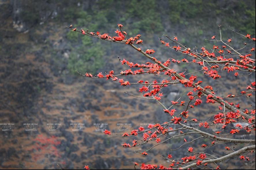 组图:鲜红的木棉花在河江省岩石高原怒放 hinh anh 4