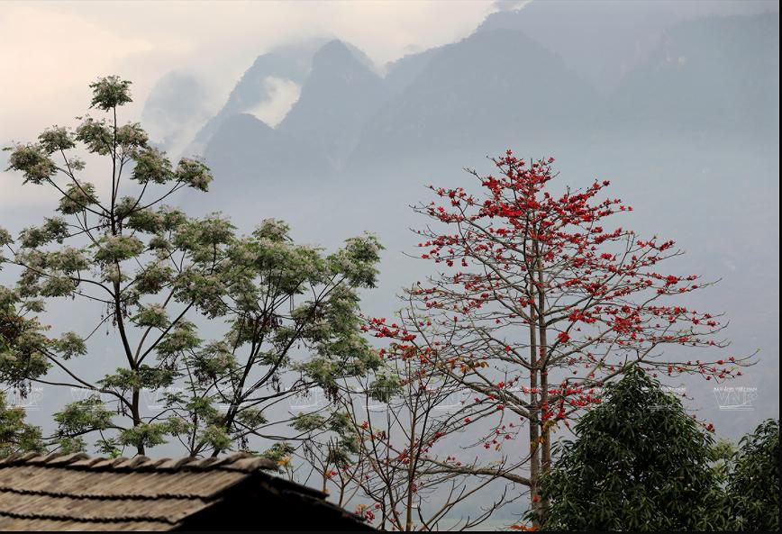 组图:鲜红的木棉花在河江省岩石高原怒放 hinh anh 5