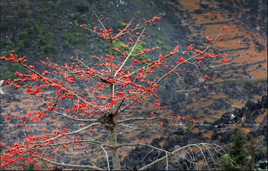 组图:鲜红的木棉花在河江省岩石高原怒放 hinh anh 7