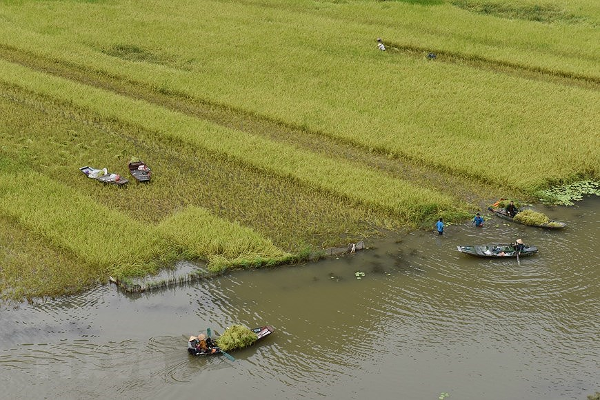 Captivating golden ripe rice fields in Ninh Binh hinh anh 6