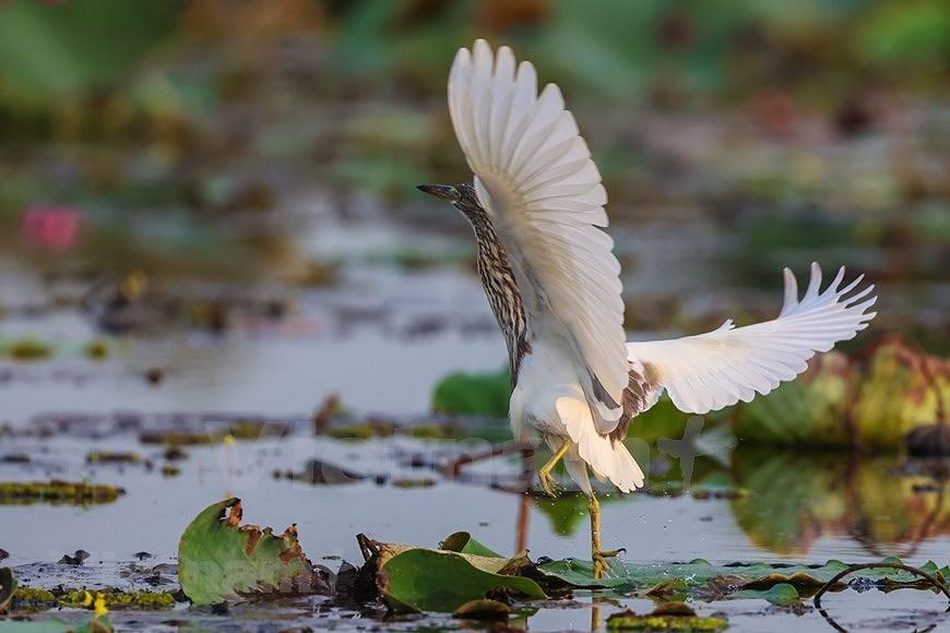 Admirar la belleza de aves en Parque Nacional Tram Chim hinh anh 1