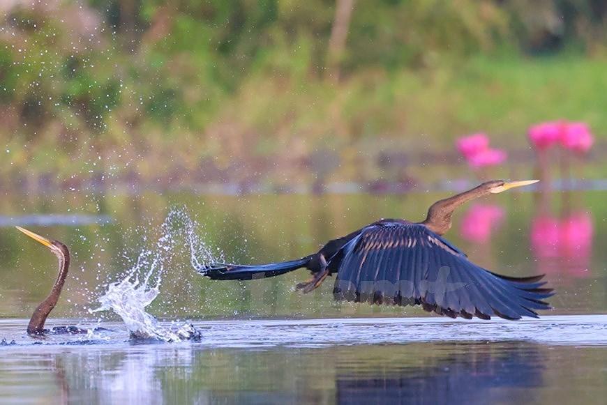 Admirar la belleza de aves en Parque Nacional Tram Chim hinh anh 2