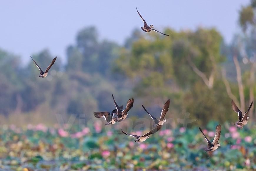 Admirar la belleza de aves en Parque Nacional Tram Chim hinh anh 3