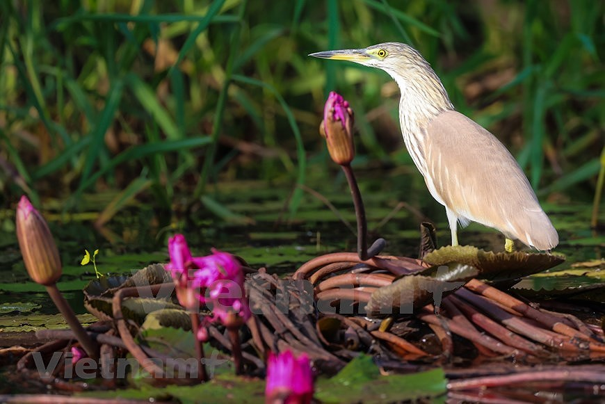 Admirar la belleza de aves en Parque Nacional Tram Chim hinh anh 4