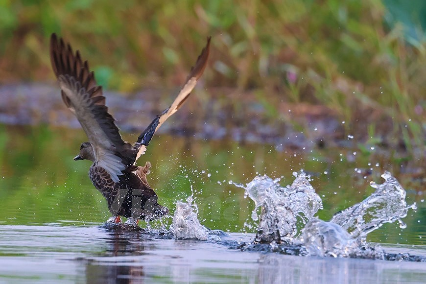 Admirar la belleza de aves en Parque Nacional Tram Chim hinh anh 5