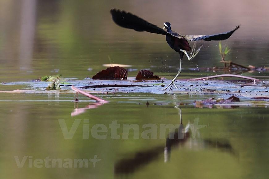 Admirar la belleza de aves en Parque Nacional Tram Chim hinh anh 6